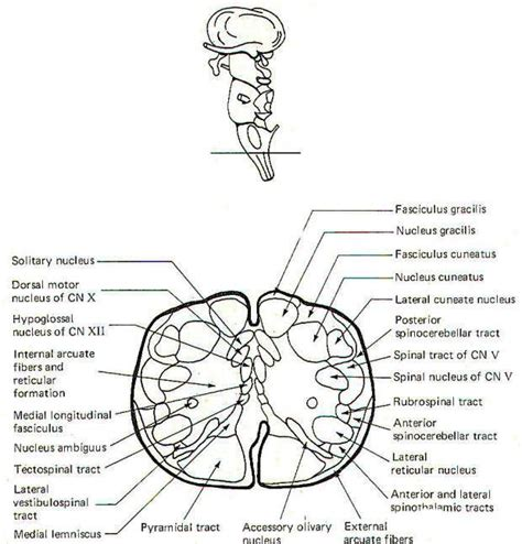 brainstem sections the brain stem