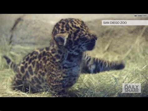 jaguar kitten jaguar cub is the cutest thing
