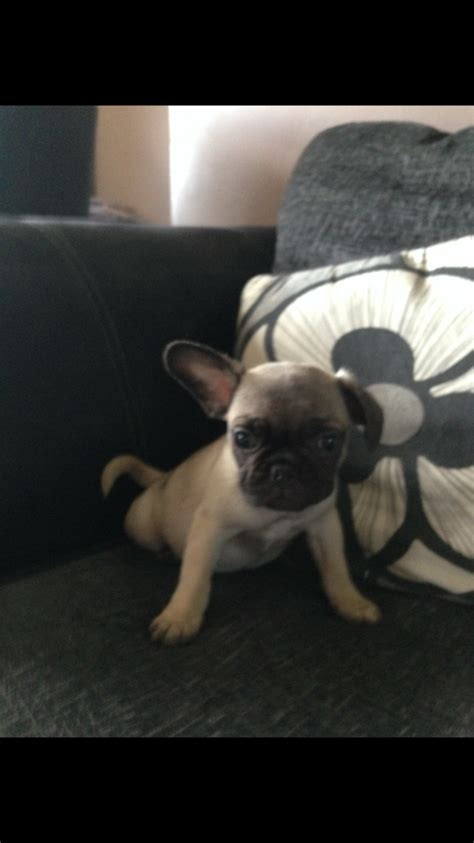 bull pug puppies for sale bulldog x pug puppies for sale gillingham kent pets4homes