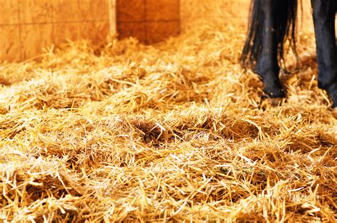 straw bedding straw bedding the good and bad chagne and horses