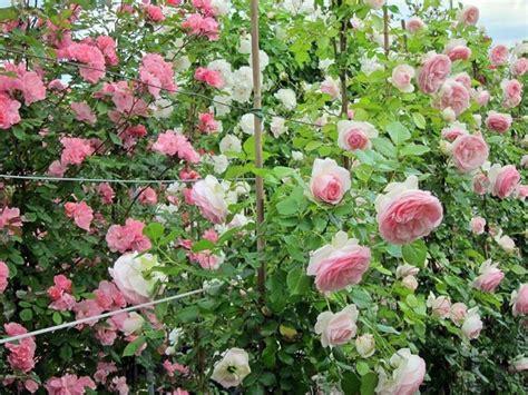 pianta sempreverde con fiori come coltivare le ricanti piante in giardino