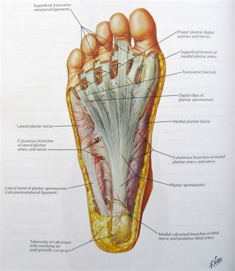 sections of the foot human body foot parts anatomy organ