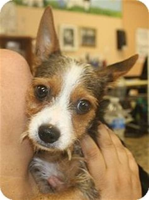 beagle yorkie mix puppies for sale yorkie beagle mix paisley the borkie beagle yorkie mix dogs