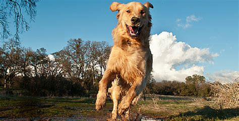 why get a golden retriever 27 reasons why you should never adopt a golden retriever