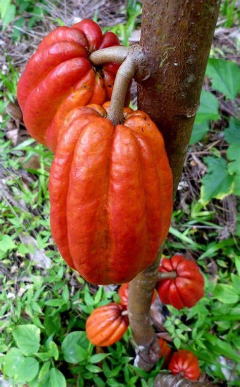 cocoa tree fruit theobroma cacao its seeds are used to make cocoa powder