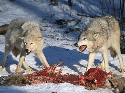 attacked   pack  wolves