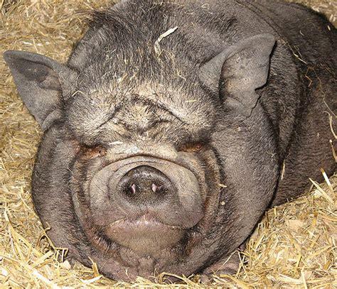 pot belly pug pot belly pig food list images