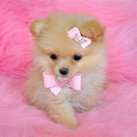 adopt a pomeranian for free pomeranians pomeranian puppy and teacup pomeranian on