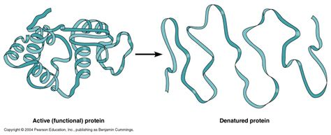 protein vs enzyme enzyme denaturation animation related keywords enzyme