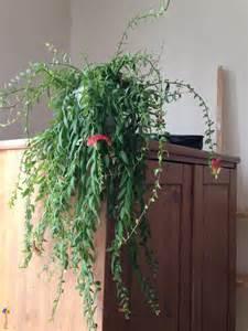 photo plante d int 233 rieur tombante 224 fleurs roses