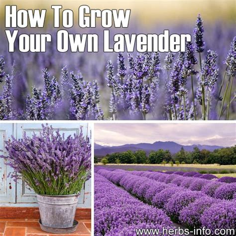 how to grow your own lavender gardening life
