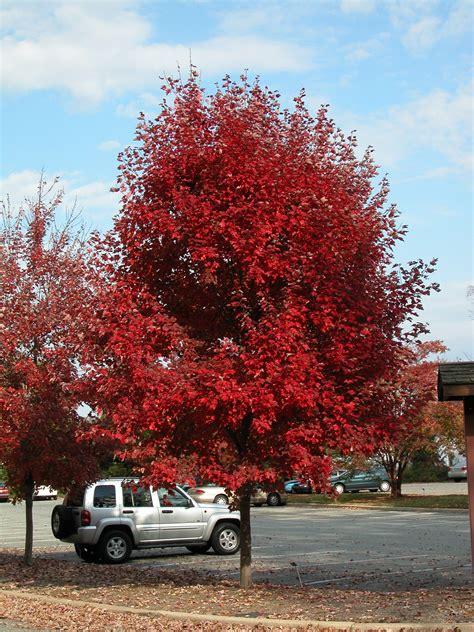 brandywine maple tree available at treeland nursery in gunter tx fast growing tree