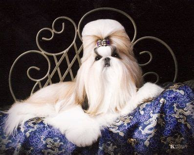 shih tzu st louis best 25 shih tzu for sale ideas on shih tzu breeders teacup maltese
