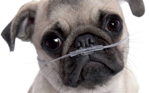 pugs brachycephalic pugs and bulldogs why do we think it s normal to them choke