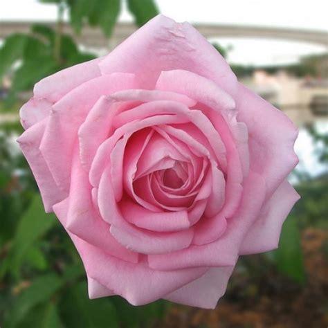 imagenes de rosas solas rosa rosada florista de santa comba d 195 o