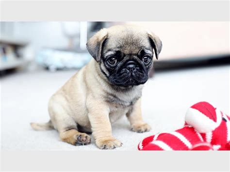 pug cs pug show and day planned bedfordview edenvale news