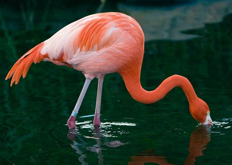 how do flamingos get their pink color flamingos shrimp www imgkid the image kid