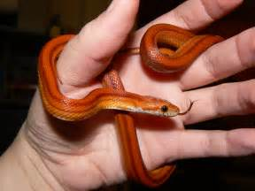 1000 images about pet snake on pinterest snakes