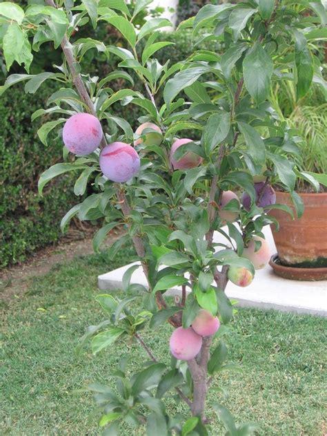 Patio Plum Tree by Santa Rosa Ultra Plum Tree Fruit Vegetable