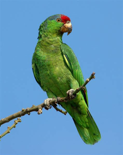 amazon parrot file red crowned amazon jpg wikipedia