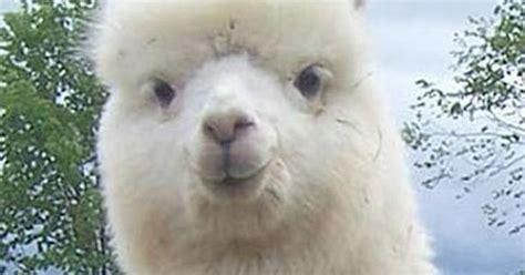 nice guy alpaca pun meme  laughs pinterest meme