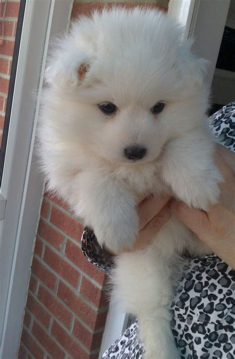 dogs for adoption ta japanese spitz sale ireland japanese spitz puppies buy buy japanese spitz breeders