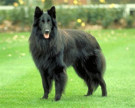belgian sheepdog puppies belgian sheepdog breed gallery