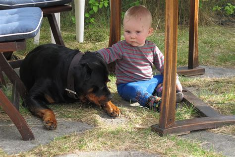 rottweiler with children 11 things only rottweiler owners understand