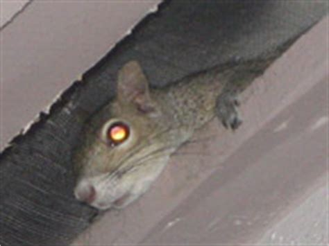 Squirrel In Ceiling by How To Get Squirrels Out Of The Attic Your House
