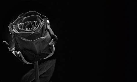 wallpaper mawar hitam hd ร ปภาพ เบา ดำและขาว การถ ายภาพ เบ งบาน ความร ก ดอก