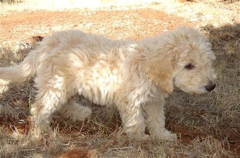 Labradoodle Do They Shed by Oasis Labradoodles Home