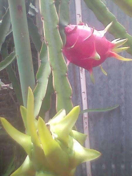 Umbi Bibit Bonggol Bunga Dahlia Mix bibit buah naga tamanbenih tamanbenih
