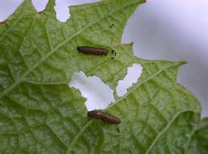 Garden Pests In The Soil Identification - grape insect pests of the home garden insects university of minnesota extension