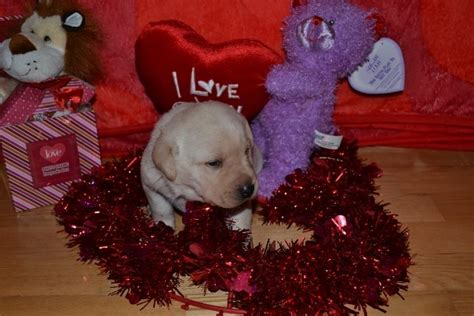 yellow lab puppies for sale wi we yellow lab puppies for sale in wisconsin winter valley labs mlk