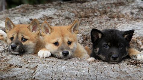 dingo puppy australian dingo pup