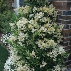 Shrub With Small White Flowers - japanese privet waxleaf privet ligustrum texanum my garden life