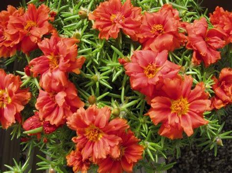pianta grassa con fiori pianta grassa con fiori piante grasse succulenta