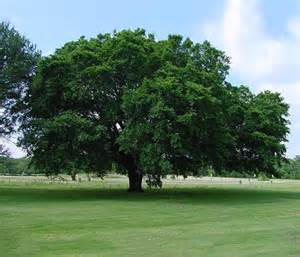 american tree american elm tree for sale the tree center