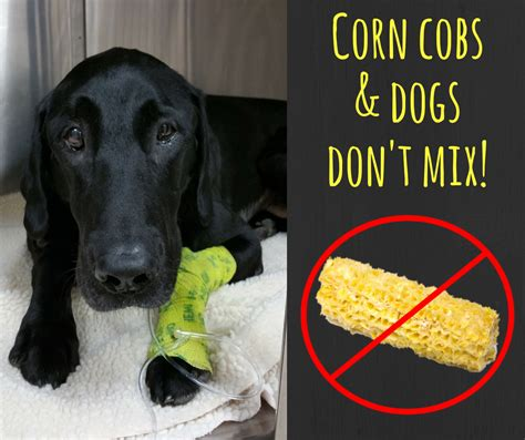 corn on the cob for dogs corn cobs and dogs don t mix lucky lab recovering pet rescue report