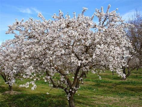 mandorlo da fiore mandorlo prunus amygdalus frutteto pianta di