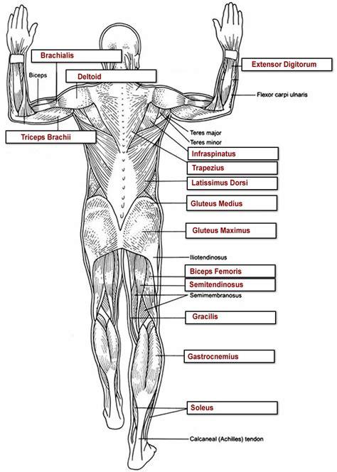 thoracic spine anatomy