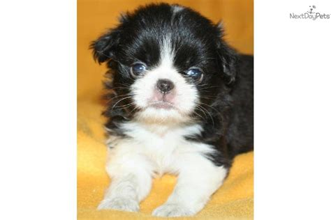 japanese chin puppies for sale near me dipper japanese chin puppy for sale near grand island nebraska 0be3b03e d541