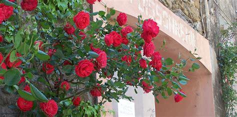 Die Schönsten Kletterrosen by Kletterrose Sympathie Kletterrose 39 Sympathie 39 Rosa 39