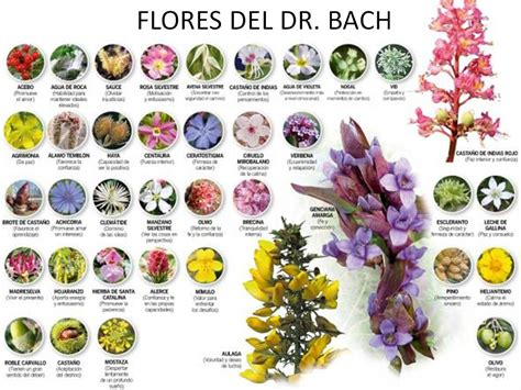 imagenes flores bach de todo un poco astrolog 205 a y flores de bach