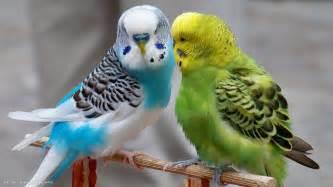 budgie parrots budgerigars birds blue green