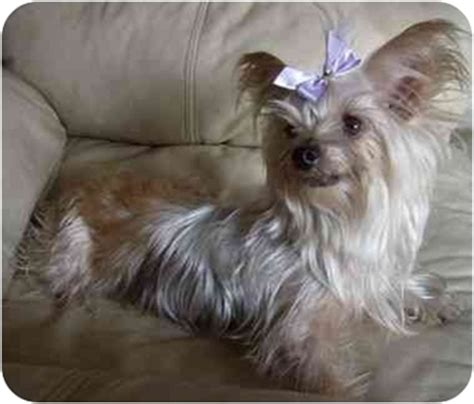 crested yorkie spice adopted columbia sc yorkie terrier crested mix