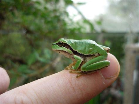 hyla arborea european green tree frog phelsuma farm