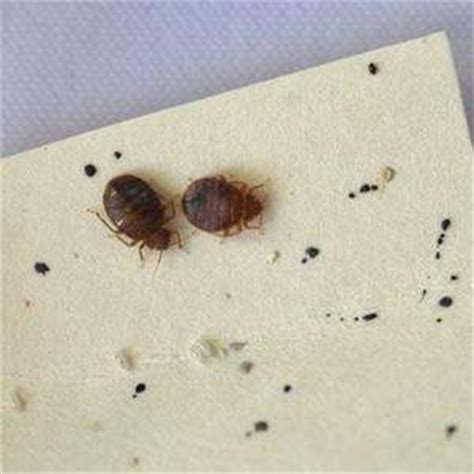 how long does it take bed bug eggs to hatch how to identify bed bugs quora