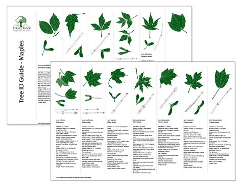 maple tree guide tree bark identification chart search arboretum ideas for community
