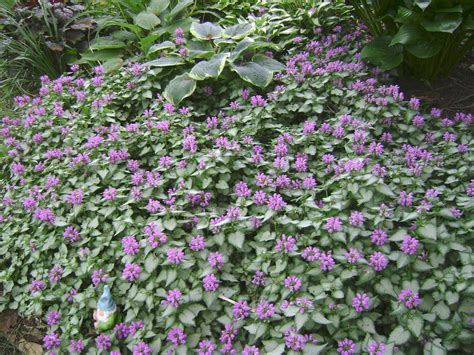 ground cover plants alternatives to lawns